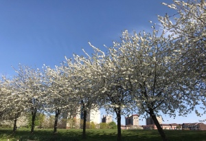 Blossom trees in Leeds, England