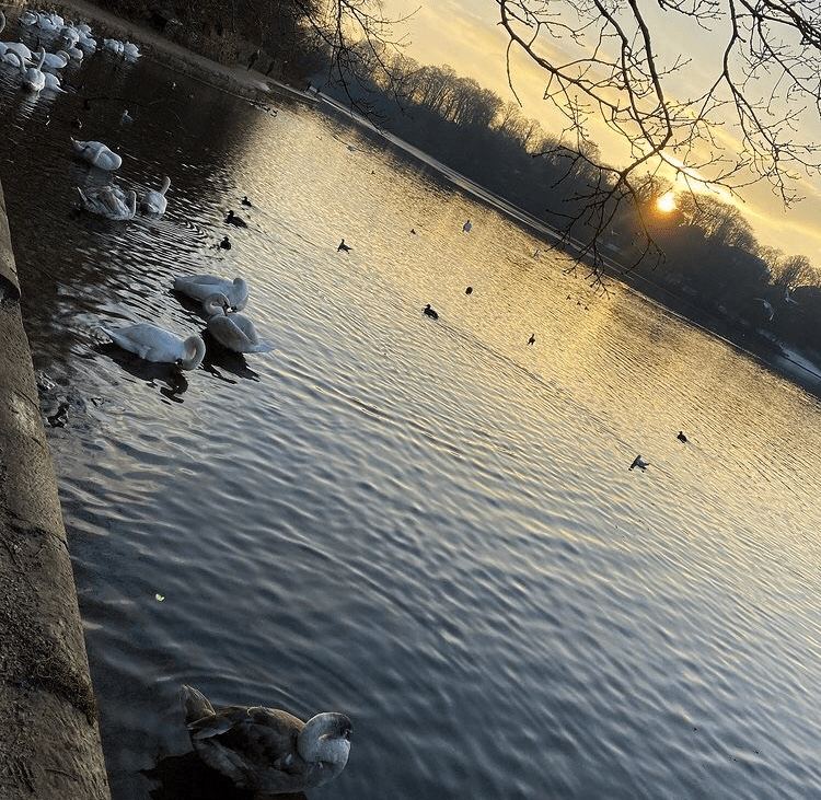 Partly frozen lake with swans at sunset